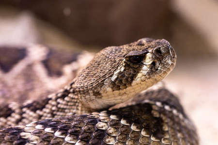 A closeup of a puff adder under the sunlight with a blurry background