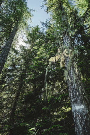 A vertical low angle shot of the tall trees in the forest in Saint Dalmas de Valdeblore, Alpes Maritimes, France