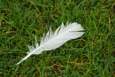 White feather on wet grass