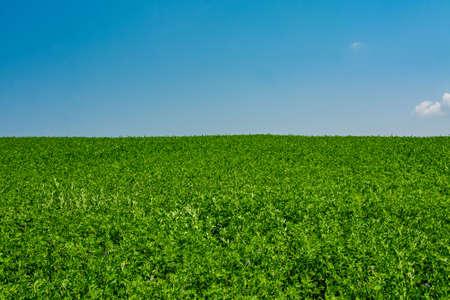 A landscape shot of a green alfalfa field under the blue sky