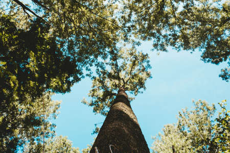 A very tall beautiful tree in a forest shot from right above in a low angle