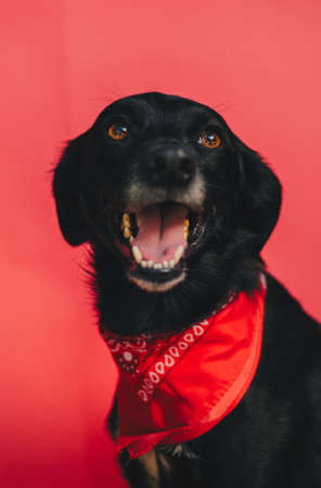 A portrait of a cute black dog with a red bandana wrapped around the neck on a bright red background Stock Photo
