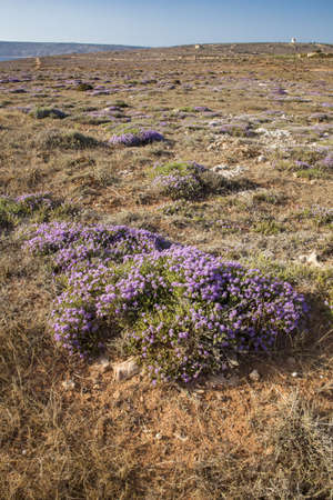 low garrigue ecosystem on karstic limestone dominated by the aromatic herb Mediterranean thyme Thymbra capitata in flower.  Xaghra l-Hamra, Malta Banque d'images