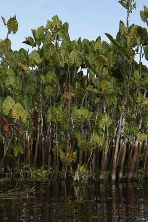 Emergent Montrichardia cfr linifera with water hyacinths Eichornia crassipes at base. Kaw Marshes, French Guiana, France