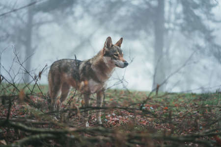 A wide selective shot of a brown and white wolfdog with fierce stare in the middle of leaves and tree branches Standard-Bild