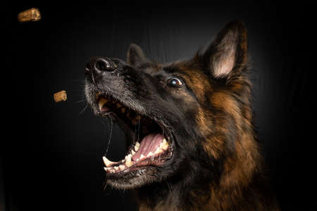 A vertical closeup shot of a brown dog catching dog food in his mouth Imagens
