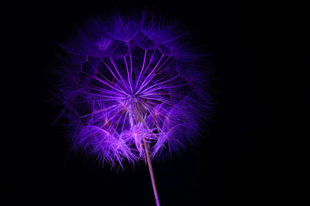 this Photo is About dandelion in blue art abstract on a black background, ultraviolet glow neon light