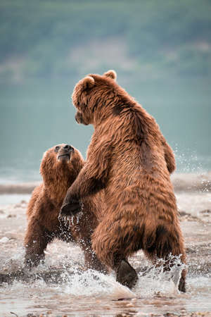 A vertical shot of a two Russian Brown Bears fighting in a lake