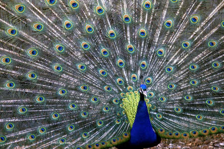 A closeup shot of a blue peafowl with spread wings