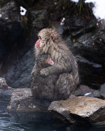 Snow Monkey. Japanese macaque parent cuddles its offspring on the banks of the hot spring, Nagano prefecture, Japan. 免版税图像