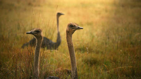 A closeup shot of ostriches in the grass during daytime