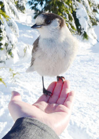 A vertical shot of a Canada jay (Perisoreus canadensis) resting on a person's hand in a snowy forest