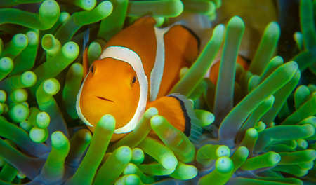 A closeup shot of a beautiful clownfish in a green sea anemone Stockfoto