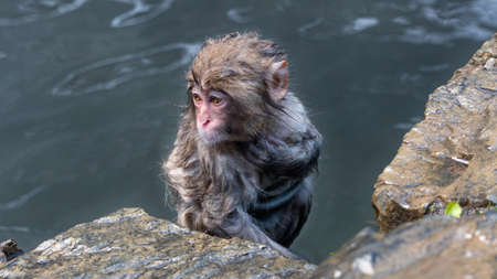 Snow Monkey. Japanese macaque itches its chest as it exits the hot spring, Nagano prefecture, Japan.