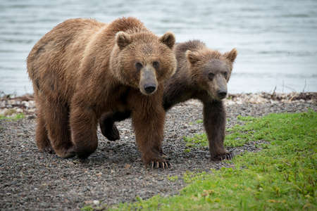 A beautiful picture of a brown bear with a cub
