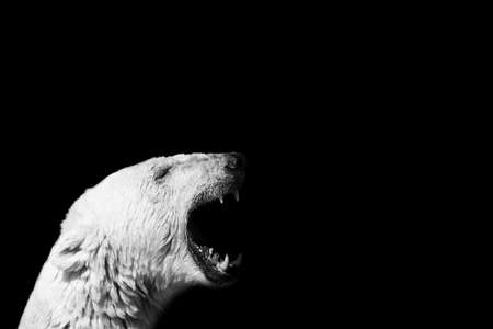 A closeup of a polar bear screaming with a black background