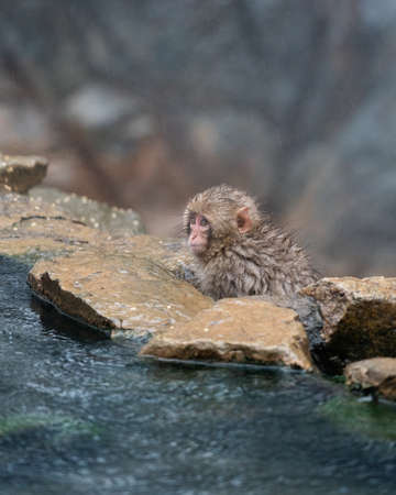 Snow Monkey. Japanese macaque juvenile gazes out over a hot spring, Nagano prefecture, Japan.