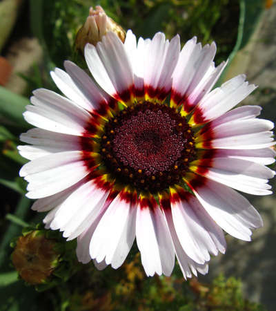 A closeup of a colorful daisy, cultivated in a garden located in Malta