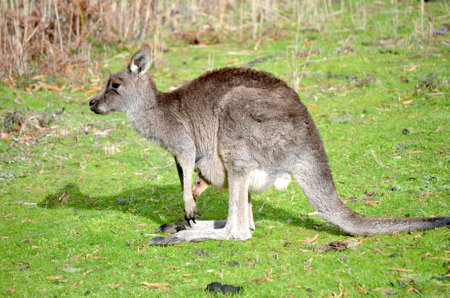 A beautiful shot of a kangaroo carrying its baby standing on a grassy field with a blurred background Stock fotó
