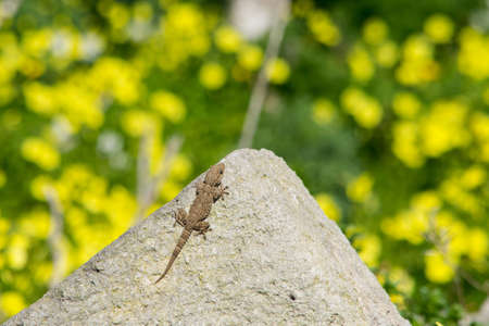 A moorish gecko, Tarentola mauritanica, basking on a rock with a bokeh background of yellow cape sorrel flowers in the Maltese countryside.