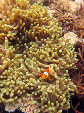 A vertical selective closeup shot of a clownfish among coral reefs