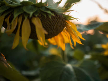 A selective focus closeup shot of a yellow sunflower during sunset