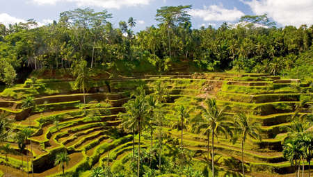 A beautiful view of rice field terraces in Bali, Indonesia