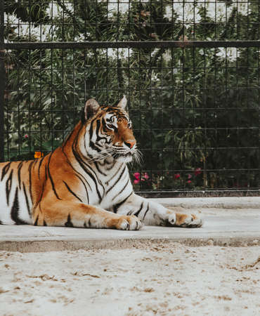 A beautiful shot of a Bengal tiger laying on the ground at a zoo Stock Photo