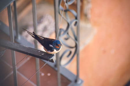 A closeup shot of a small cute cliff swallow resting on a cloth drying rope near a balcony
