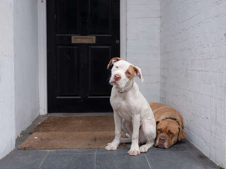 A horizontal shot of two cute white and brown Labrador Retriever sitting outside in front of a black door Imagens