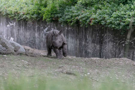A white rhinoceros running through a zoo surrounded by wooden fences and greenery Foto de archivo