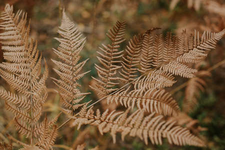 A selective focus shot of a gorgeous dry ostrich fern branch on a blurred background