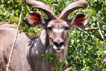 A selective focus closeup shot of a kudu standing in front of green plants