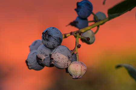 A closeup shallow focus shot of a branch of blueberries covered in the dust of nature Zdjęcie Seryjne