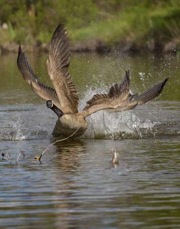 A vertical shot of a goose landing on the water with a blurred background