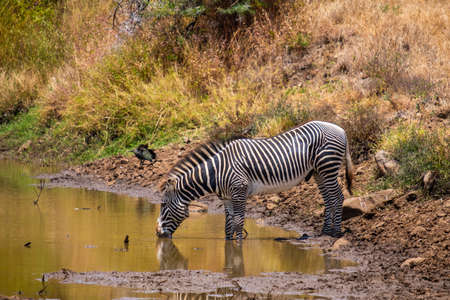 A beautiful shot of a zebra drinking water from a pond captured in Kenya, Nairobi, Samburu