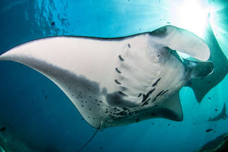 A beautiful shot of a Manta ray fish living underwater in Bali, Indonesia
