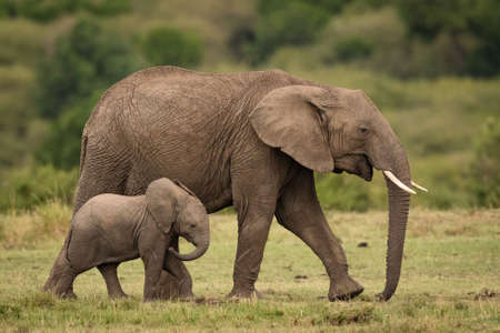 baby elephant walking near its mother with a blurred background