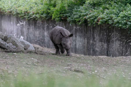 A white rhinoceros running through a zoo surrounded by wooden fences and greenery