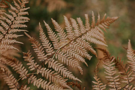 A selective focus shot of a couple of dry ostrich fern branches on a blurred background