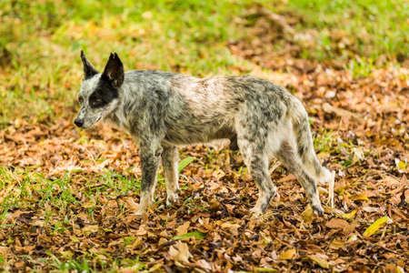 A black and white dog-like animal on field covered with autumn leaves