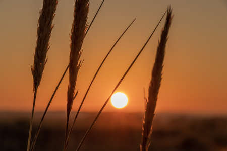 A silhouette of wheat spikes with the background of the beautiful sunset Stock Photo
