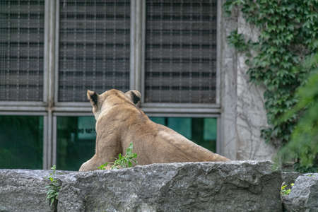lion laying on a stone surrounded by greenery. 스톡 콘텐츠