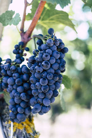A vertical selective focus shot of purple grapes in a vineyard with a blurred background