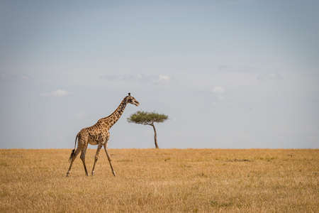A giraffe walking on a dry grassy field with a tree and a cloudy sky in the background