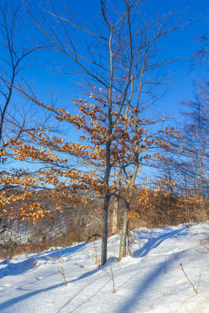 A vertical shot of half-bare trees in the snowy Medvednica mountain in Croatia