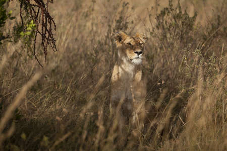 A beautiful lioness camouflaging behind the tall grass captured in the African jungles