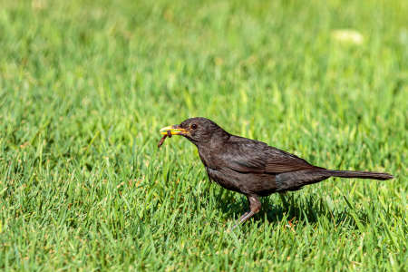 A closeup shot of a common blackbird eating a worm on the green grass