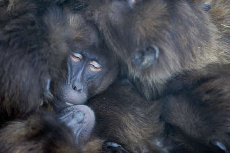 A closeup shot of baboons sleeping on top of each other