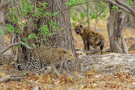 An angry African leopard in the jungle with a hyena following in the background